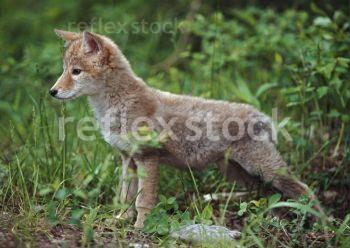 Coyote-Canis-Latrans-Puppy-28811856-0